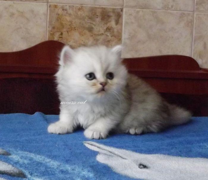 Резервування і продаж шотландських кошенят - фото
