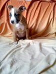 Срочно!!!продаютя щенки амстаффа (АСТ)