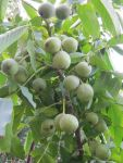 Саджанці горіха ідеал і яровской