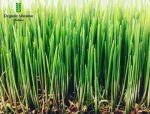 100% натуральний Сік паростків пшениці
