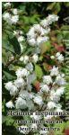 Семена дейции шершавой , звездчатой , ТМ OGOROD-300 семян