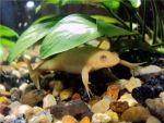 Жовті жаби для акваріума! Доставка