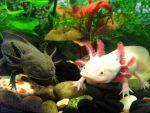 Чудо природы - аквариумный аксолотль! Доставка по всей Украи