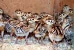 Продажа фазан годовалый и птенец разновозрастной.