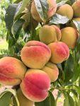 Фрукты (яблоки, груши, персики)