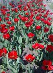 Продам луковицы тюльпанов красные ранние