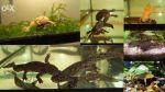 Комплект акваріумних тварин: 2 тритона, 2 жел жаби, 2 з