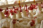 Птахофабрика у Польщі потребує працівників