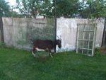 Продається дійна коза