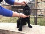 Кане Корсо - Клубные щенки чёрного и тигрового окраса