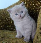 Котята вот бомбезной, лиловой кошки Сони.