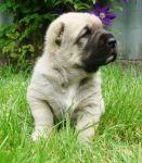 Крупный щенок САО(алабай) от породных родителей.