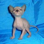 Розплідник пропонує кошенят донського сфінкса WCF.