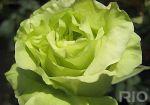 Продам саджанці троянд, плодових дерев. Бахмут