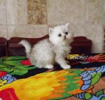 Крупный шикарный котик скоттиш- фолд