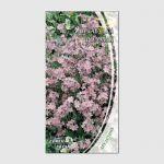 Семена незабудки розовой