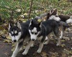 Сибирский хаски щенки КСУ.