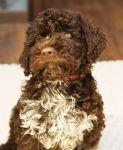 Чистокровные щенки Лаготто-романьоло с родословной