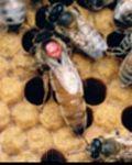 Продаю, бджолопакети та бджоломатки.