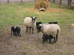 Куплю вівцематок і ярок! В Одеській і сусідніх областях.