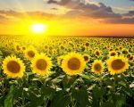 Підприємство «АГРО7Я» закуповує кондитерський соняшник