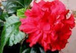 Продам Гибискус-прекрасную китайскую розу!