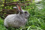 продаж еко-кроликів