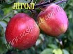 Продам саженці елітних плодових дерев!!!