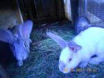кроликів: каліфорнійський білий та сірий