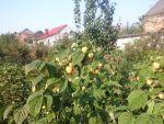 Продаю малину ремонетного сорту Полка, Поляна, Жовтий гігант