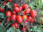 Продам насіння томатів та інших овочів