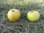 """ТОВ """"Агрофірма """"ВЕСНА-2011"""" пропонує яблука"""