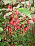 саженцы ягодников