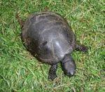 Куплю болотних черепах у великих кількостях.