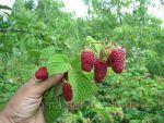 Продам саженці  малини, смородини, кридовніка, полуниці