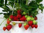 Выращиваете клубнику на балконе или подоконнике?