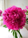 Цветы пионов (срез)