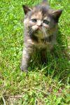 Шотландськы короткошерсты котята