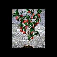 Цифомандра, Томарилло, Помідорне дерево.
