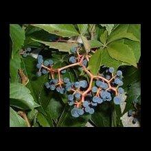 Дівочий, девичий виноград, саджанці, черенки, рост
