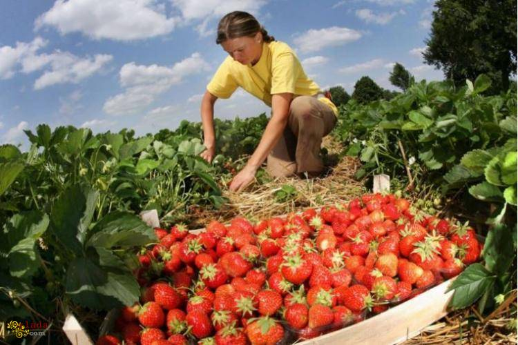Сезонная работа в Польше. Сбор овощей, фруктов, ягод, Днепр - фото
