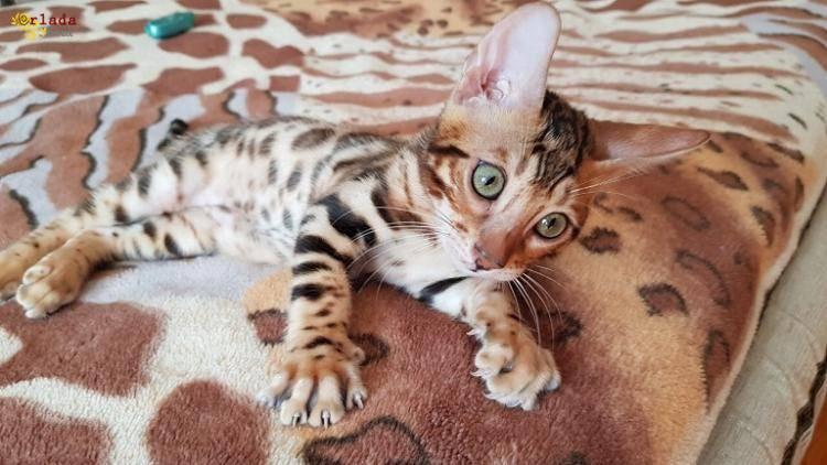 Бенгальская кошка. Бенгальские котята купить. Запорожье. - фото