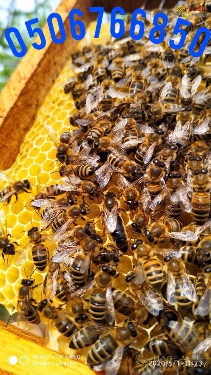 Пчеломатки карпатка. Бджоломатки карпатка - фото
