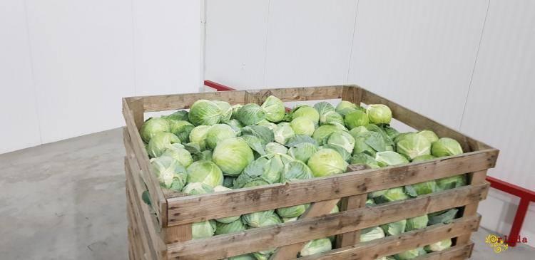Оптова реалізація капусти «Еластор». Овочі продаж. - фото