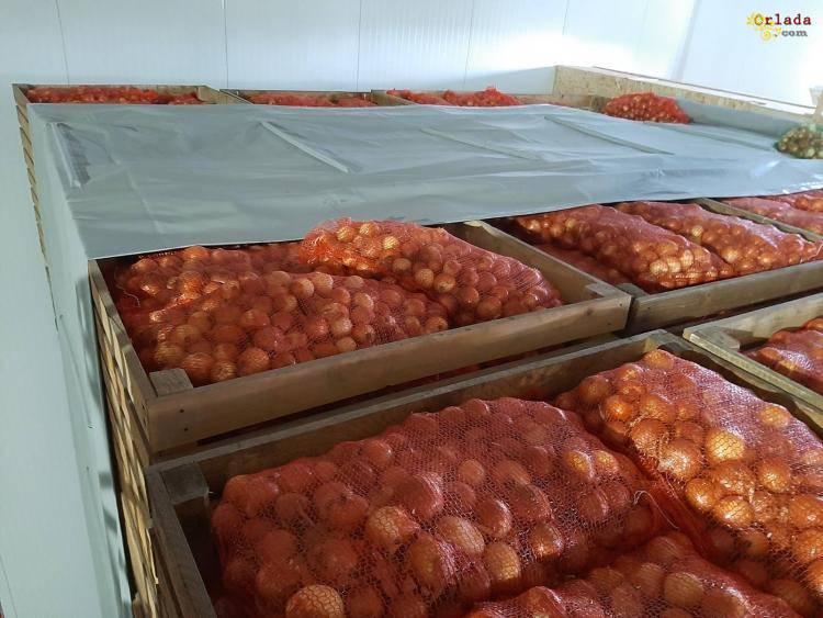 Овощи оптом Хуст. Продам лук - фото