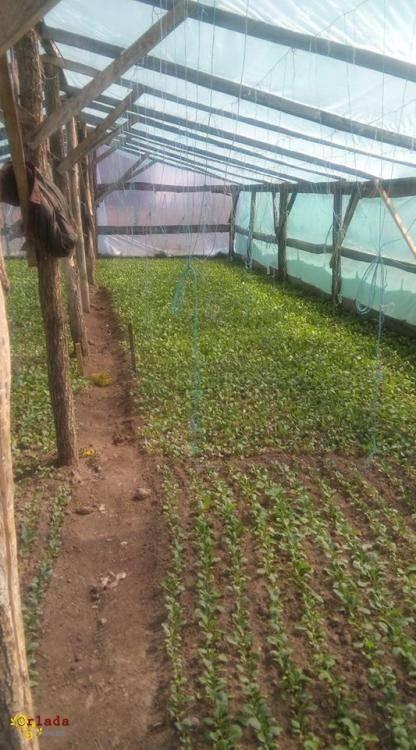 Розсада капусти й помідорів - фото