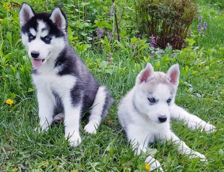 ЗАГОЛОВОК: Купить щенка СИБИРСКОЙ ХАСКИ || щенок ХАСКИ (девочка) в Харькове. - фото
