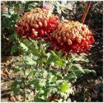 Коріння хризантеми - фото 3