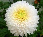 Коріння хризантеми - фото 0