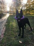 Вязка. Немецкая овчарка черного цвета (кобель) - фото 2